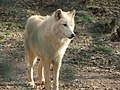 Zoo des 3 vallées - Loup de Sibérie - 2015-01-02 - i3344.jpg