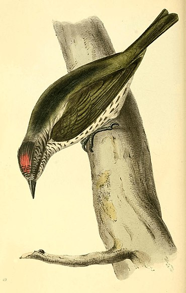 Zoological Illustrations Volume I Plate 49.jpg