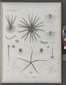 Zoologie. Echinodermes. Comatules, Ophiures (NYPL b14212718-1268604).tiff
