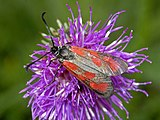Slender Scotch burnet moth on a flower