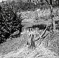 """""""Barba"""", v kateri se ravna slama za škompo, Hom 1961.jpg"""