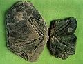 """Proornis coreae"" fossils on display.jpg"