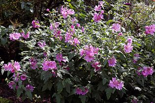 'Malva eriocalyx' Lavatera arborea tree mallow cultivar Quex House Kent England 2.jpg