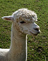 'Vicugna pacos' Alpaca at Capel Manor College Gardens Enfield London England.jpg