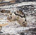 (70.067) (BF1747) The Streamer (Anticlea derivata) - Flickr - Bennyboymothman.jpg