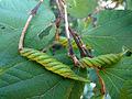 (Helicteres isora) East Indian screw tree seed at Kambalakonda 07.JPG