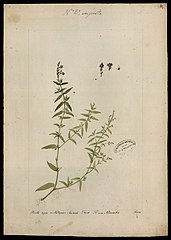 (Scrophulariaceae)