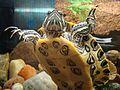 Żółw w akwarium (3).JPG