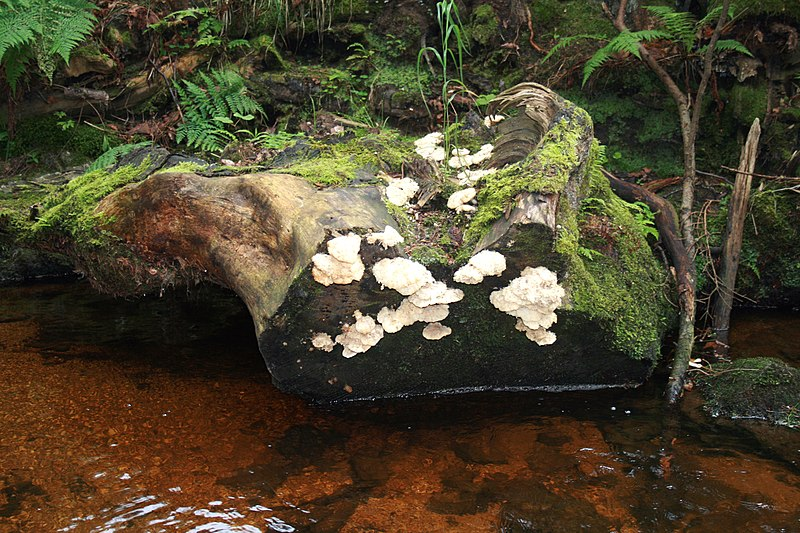 File:Žofínský prales 3.jpg