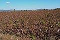 Βαμβάκια στον Ορχομενό Βοιωτίας - panoramio.jpg