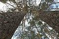 Две сосны - panoramio.jpg