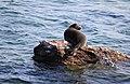 Из жизни байкальской нерпы близ Ушканьих островов 04.jpg