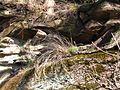 Мар'їн стрімчак. Скелі 3.jpg