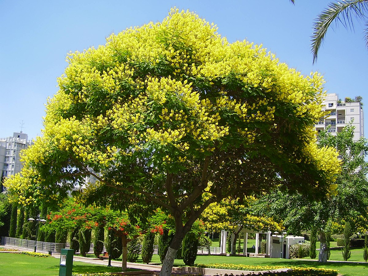 Peltophorum dubium wikipedia for Arboles ornamentales de hoja perenne