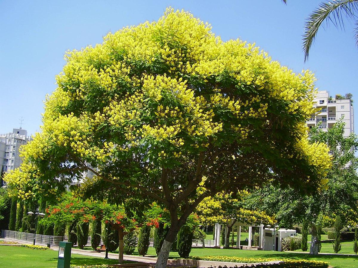 Peltophorum dubium wikipedia for Arboles de hoja perenne de jardin