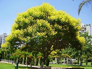 Peltophorum dubium - Image: תמונה 1014