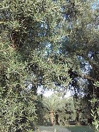 من واحة مدينة كلميمة صورة تجمع مابين أشجار زيتون و نخيل مع نبات الزرع القمح الموجدون بوفرة.jpg