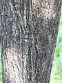 คอร์เดีย (Geranium tree ) Cordia debestina L. 05.jpg