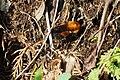 トラマルハナバチ (Bombus diversus ssp. diversus) (26450373056).jpg