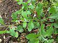 ハナイバナ(葉内花)(Bothriospermum tenellum) (6966173602).jpg