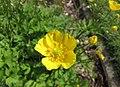 匐枝毛茛 Ranunculus repens -比利時國家植物園 Belgium National Botanic Garden- (9216085318).jpg