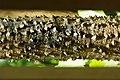 木棉 kapok tree - panoramio.jpg