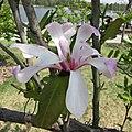 木蘭屬 Magnolia × loebneri 'Leonard Messel' -上海辰山植物園 Shanghai Chenshan Botanical Garden- (17261643892).jpg