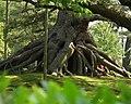 根上松 Exposed Root Pine - panoramio.jpg