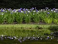 池に菖蒲(A pond and Iris) - panoramio.jpg