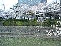 真締川の桜 - panoramio.jpg