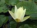 睡蓮-金獎章 Nymphaea Gold Medal -深圳洪湖公園 Shenzhen Honghu Park, China- (9216099024).jpg