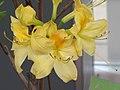 羊躑躅(鬧羊花) Rhododendron molle (Azalea mollis) -香港花展 Hong Kong Flower Show- (9216097310).jpg