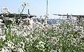 花盛り - panoramio (1).jpg