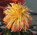 菊花-岸千羽鶴 Chrysanthemum morifolium -中山小欖菊花會 Xiaolan Chrysanthemum Show, China- (11961614924).jpg