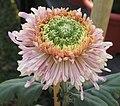 菊花-管桂型 Chrysanthemum morifolium Inner-floret-tubular-series -中山小欖菊花會 Xiaolan Chrysanthemum Show, China- (9252462387).jpg