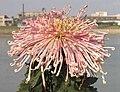 菊花-聖光玉泉 Chrysanthemum morifolium 'Jade Spring' -中山小欖菊花會 Xiaolan Chrysanthemum Show, China- (12064915393).jpg