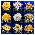 菊花 Chrysanthemum morifolium Cultivars 4 -上海松江方塔園 Song Jiang, Shanghai- (12115520865).jpg