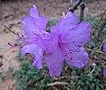 迎紅杜鵑 Rhododendron mucronulatum -首爾切頭山公園 Seoul, South Korea- (33913976476).jpg