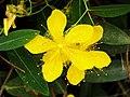 金絲桃 Hypericum perforatum - panoramio.jpg