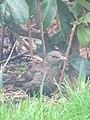 -2019-01-04 Female blackbird (Turdus merula), Trimingham (4).JPG