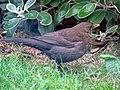 -2019-01-10 Female blackbird (Turdus merula), Trimingham, Norfolk (2).JPG