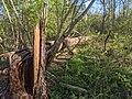 -2021-04-22 Fallen tree, Bourne, Lincolnshire.jpg