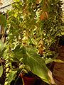 00561 - Hoya micrantha.JPG