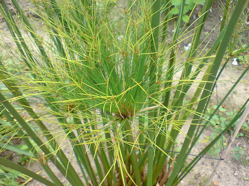 File:01758 - Cyperus papyrus (Papyrus-Staude).JPG