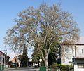 01 2012 Bystrice-pod-Hostynem pamatny-strom Platan-u-prumyslove-skoly.jpg