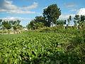 04506jfDomesticated Water Hyacinth Pescadores Poblacion Candaba Pampangafvf 02.JPG