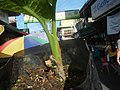 0546La Suerte lucky plant in the Philippines 11.jpg