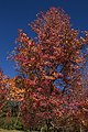 09- Autumn Leaves begin to fall Blue Mountains (17314389742).jpg