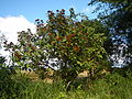 09778jfLandscapes Bixa orellana Maronquillo San Rafael Bulacanfvf 11.JPG