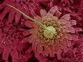 16 Menacanthus stramineus.tif